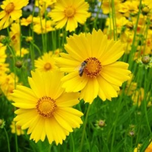 Coreopsis plants in a garden
