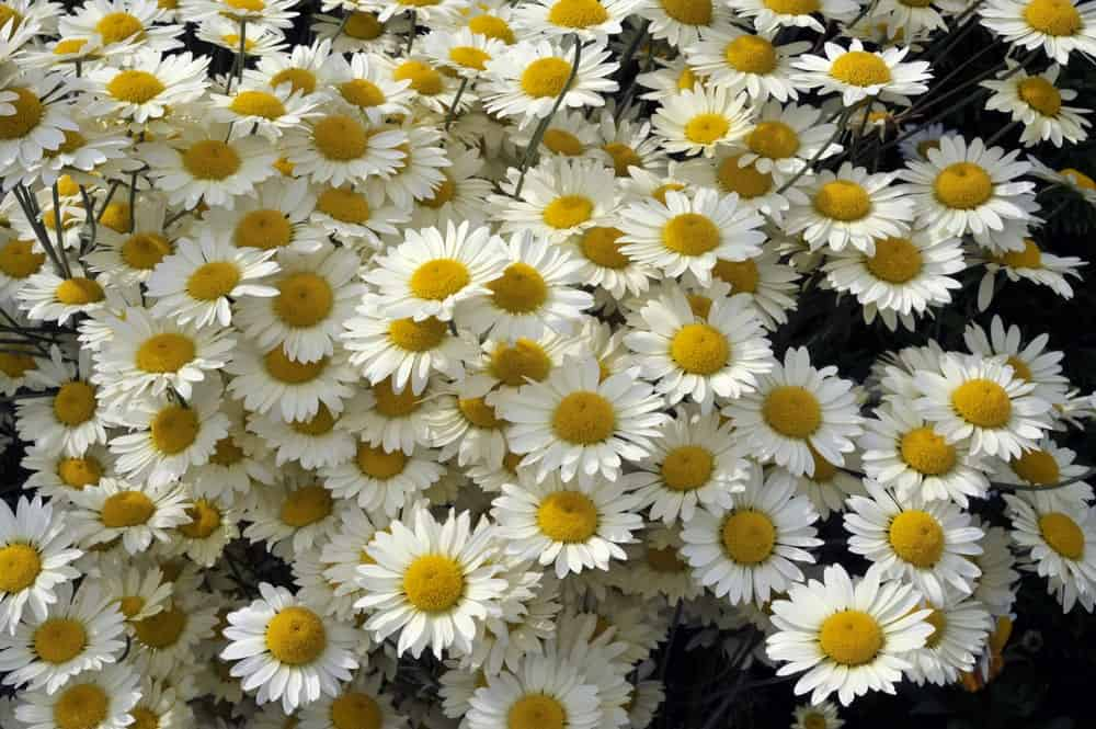 Clusters of Marguerite Flowers