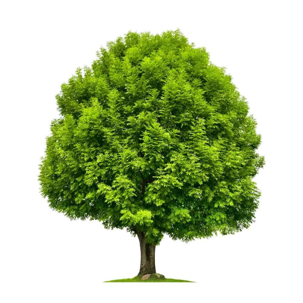 Luscious white ash tree
