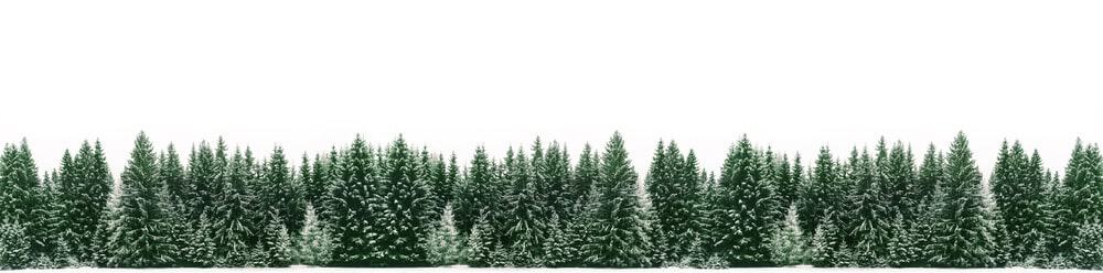 Many white spruce trees in a row