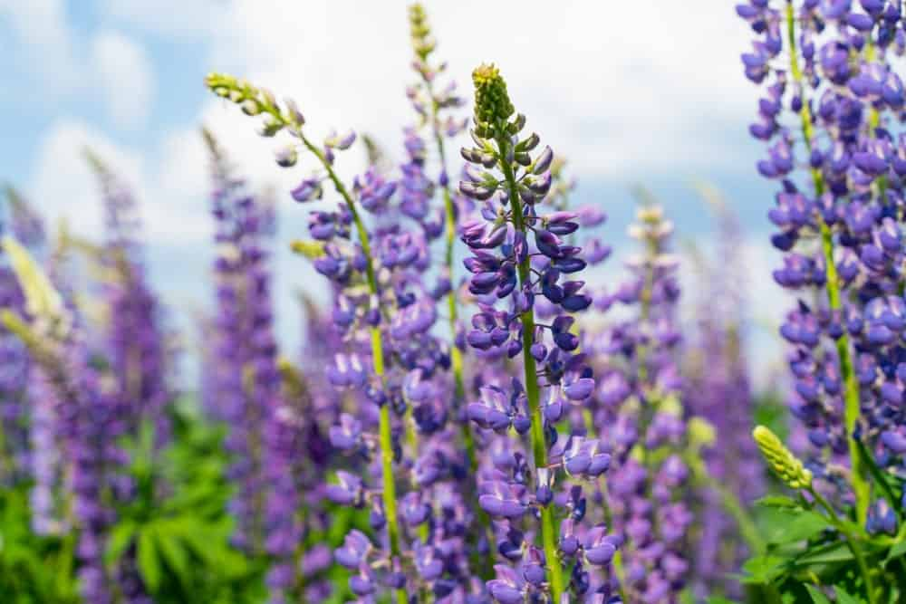 Clusters of Lupine Flowers in a Garden