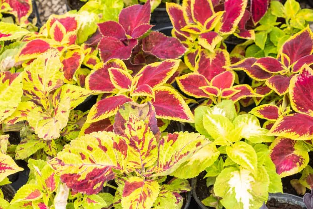 Wizard Mix; a cultivar of the Coleus plant