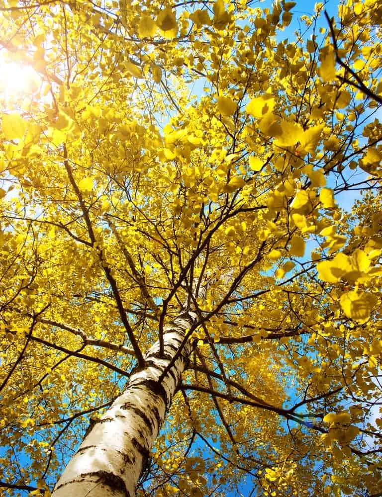 Yellow birch tree in the morning