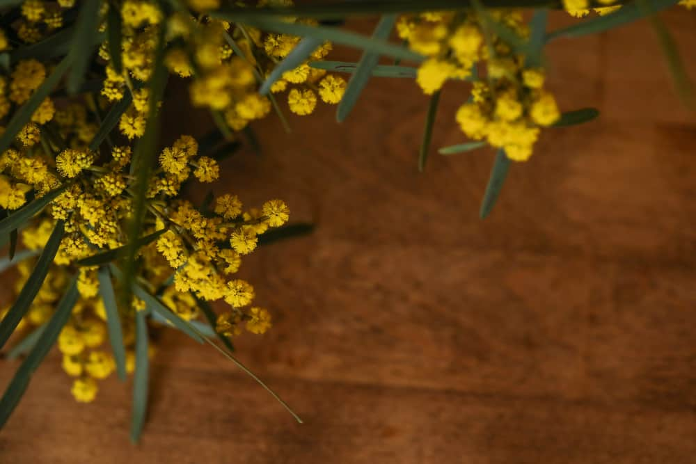 Beautiful yellow flowers in clusters laying on acacia baileyana wood table