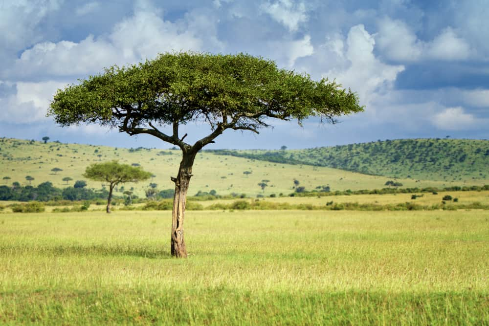 Amazing canopy shape of the umbrella acacia growing in an open grassland