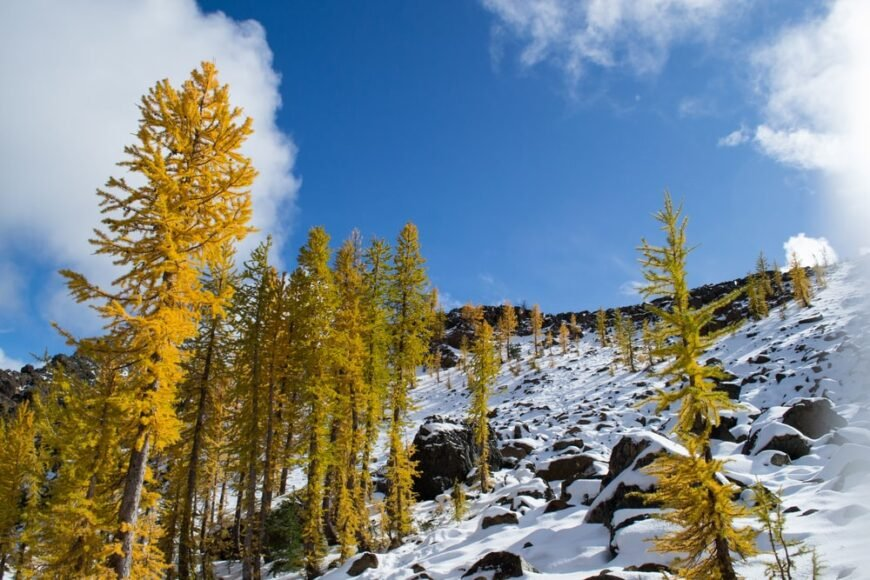 lovely yellow alpine larch trees growing on a snowy hillside