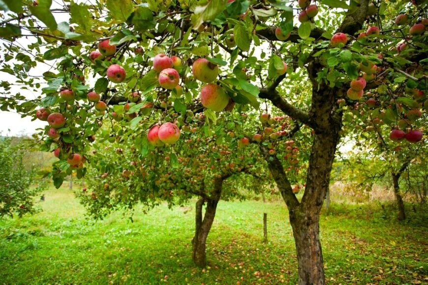 fresh young apple trees with ripe apples growing in a green orchard