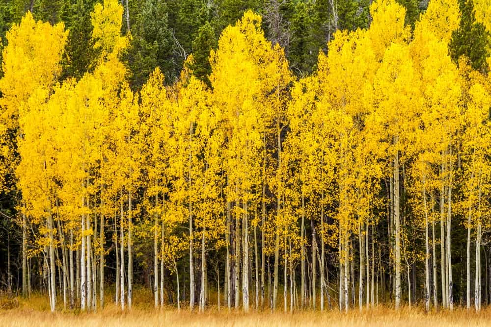 5 Different Types Of Aspen Trees