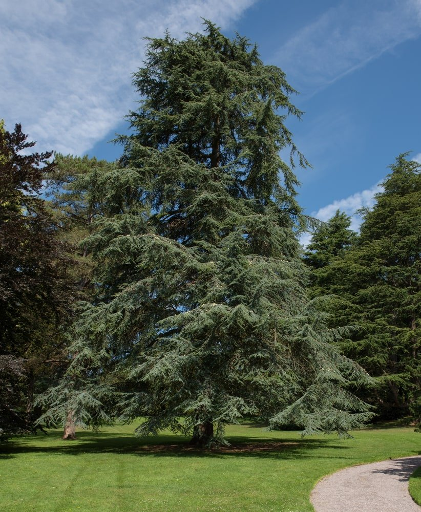 very tall atlas cedar tree growing in a park next to sidewalk