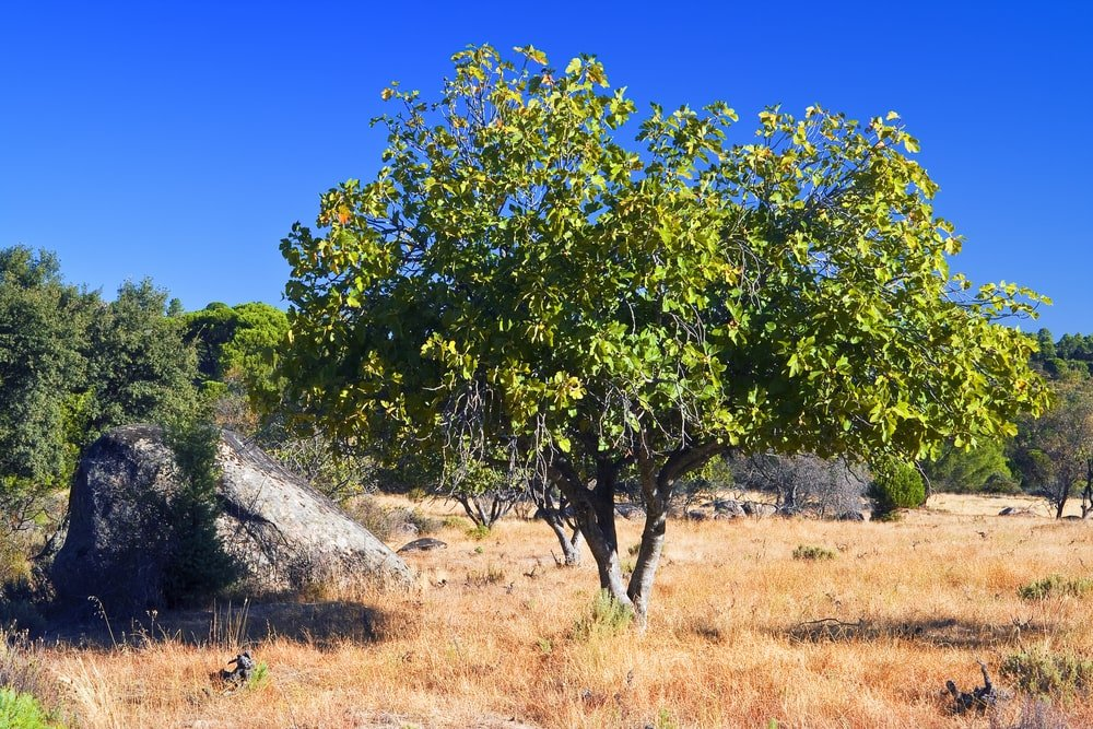 bat fig tree growing in yellow grass with a deep blue sky