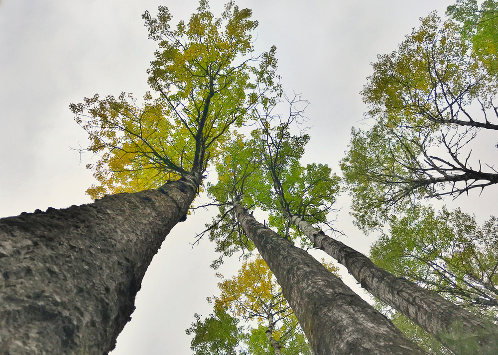 Big Tooth Aspen Tree