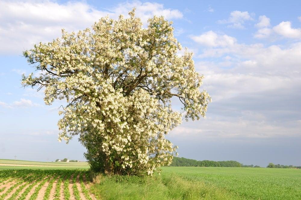 A tall mature black locust tree in a field.