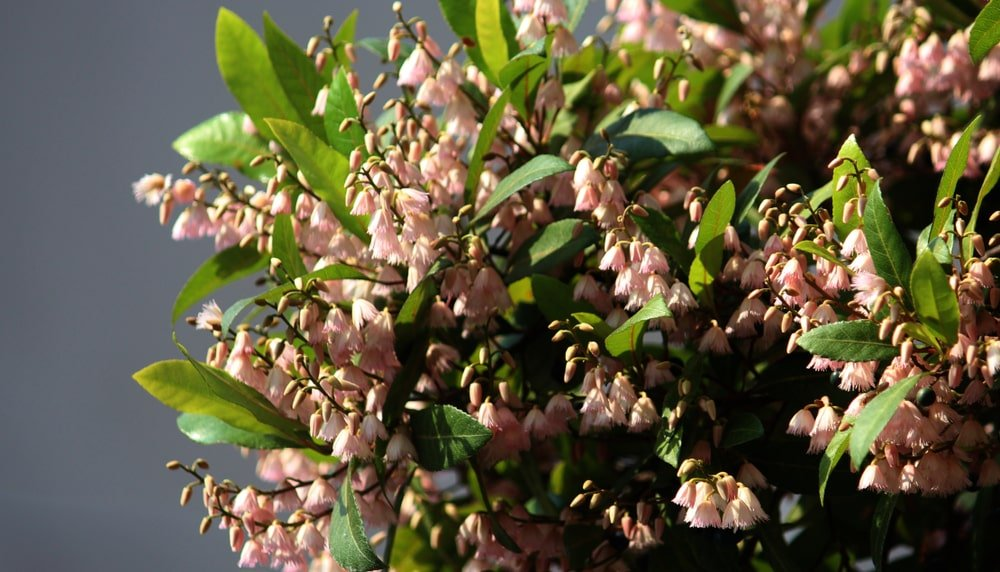 close up of beautiful pink bell flowers of the blueberry ash tree