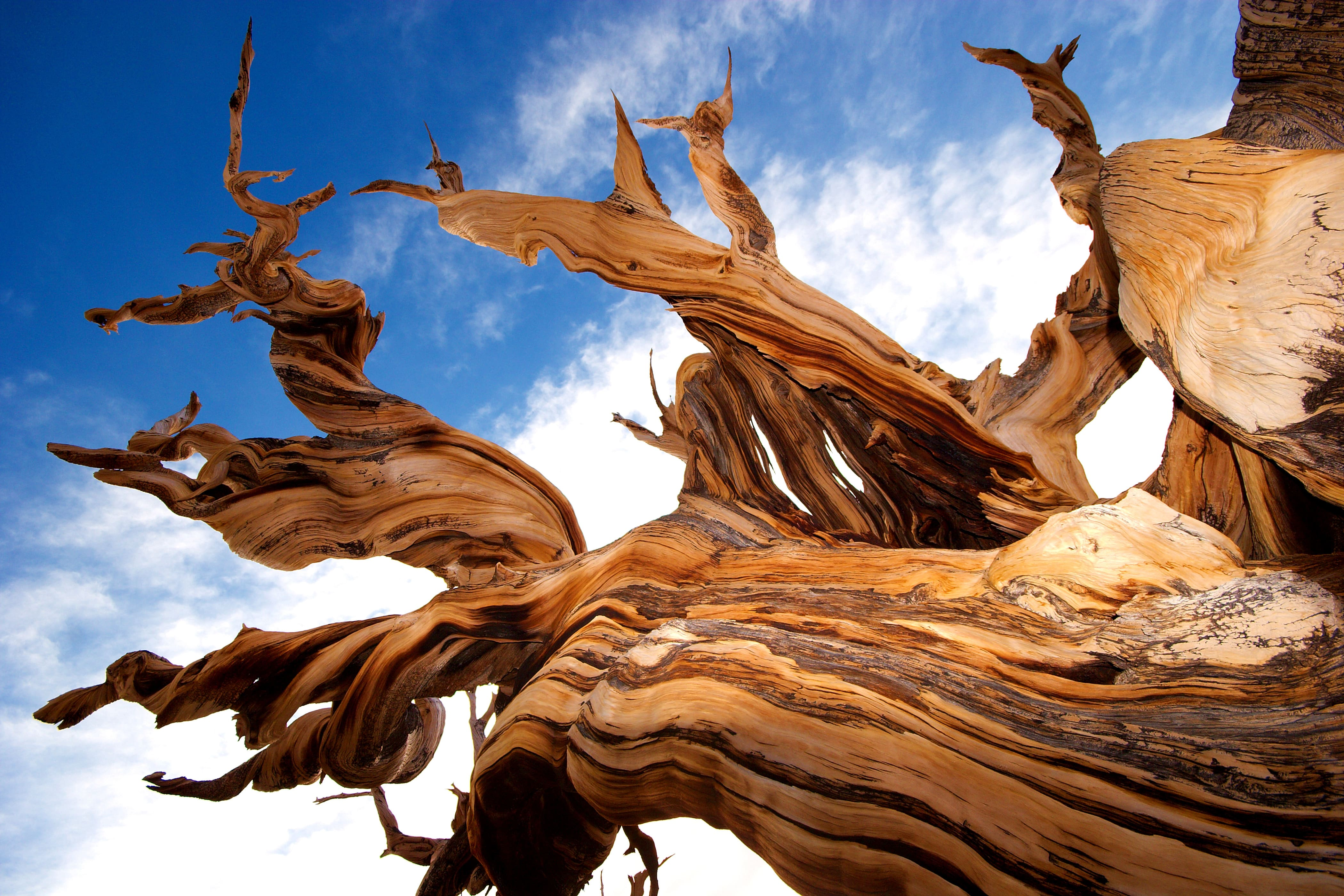 extremely old and impressive bristlecone pine tree naked trunk against blue sky