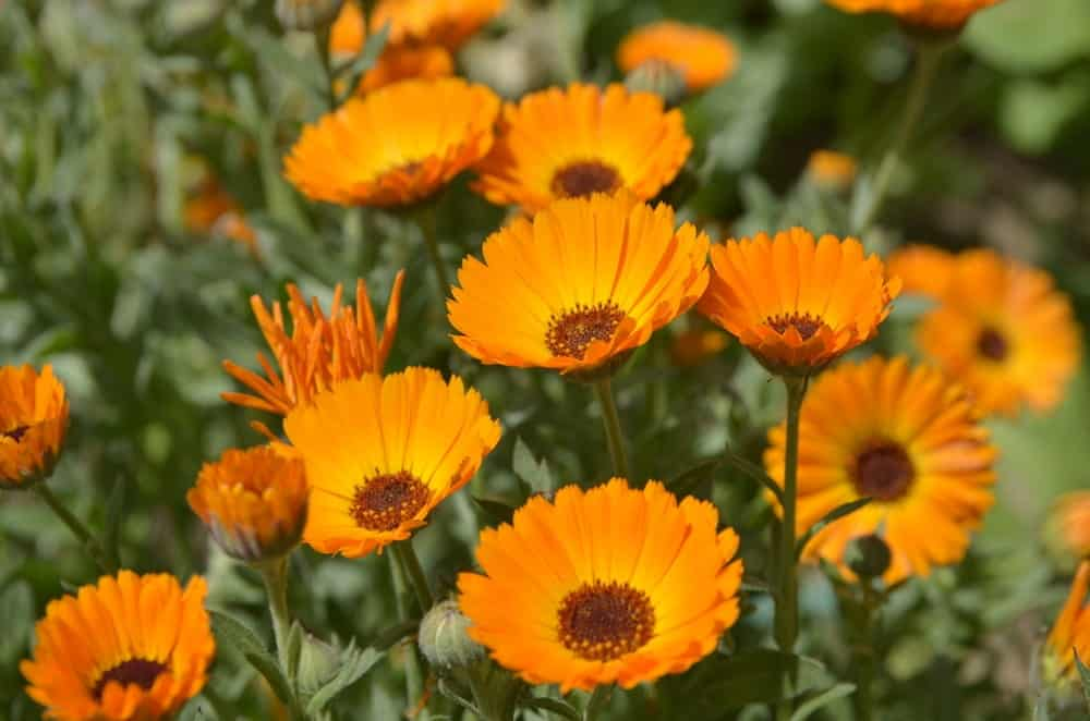 Calendula flowers in a field