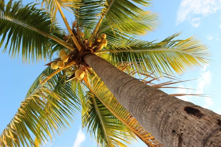 looking up the trunk of a tall coconut palm tree with giant green leaves and clusters of coconuts