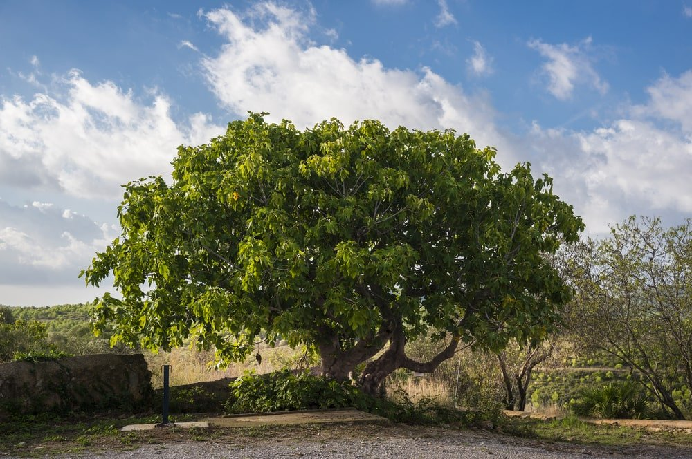 large common fig tree growing on a sunny day in spain