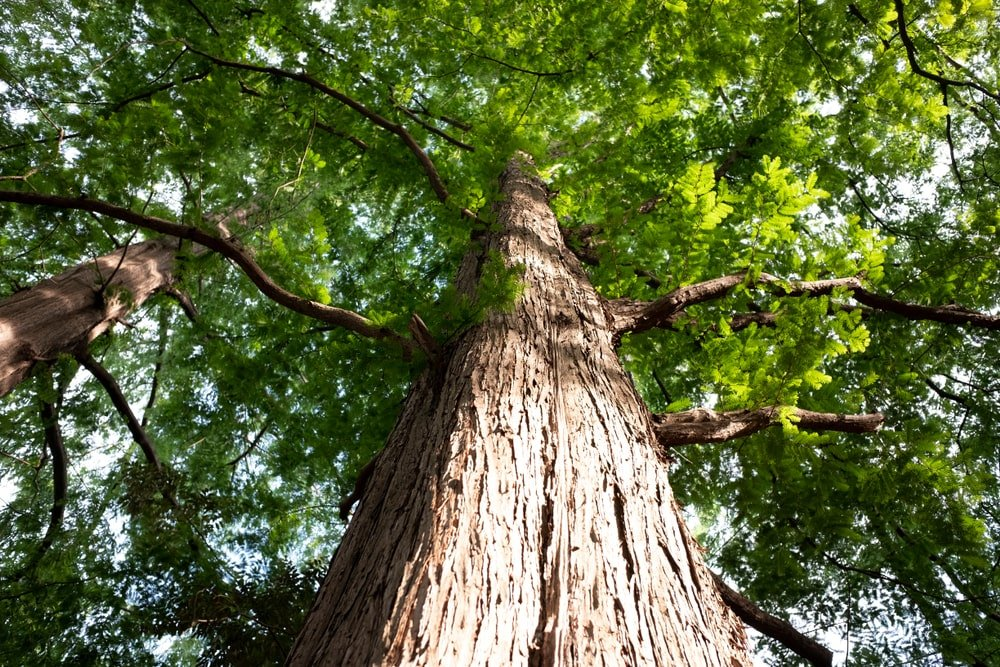 looking up the large trunk of a dawn redwood tree with bright spring foliage