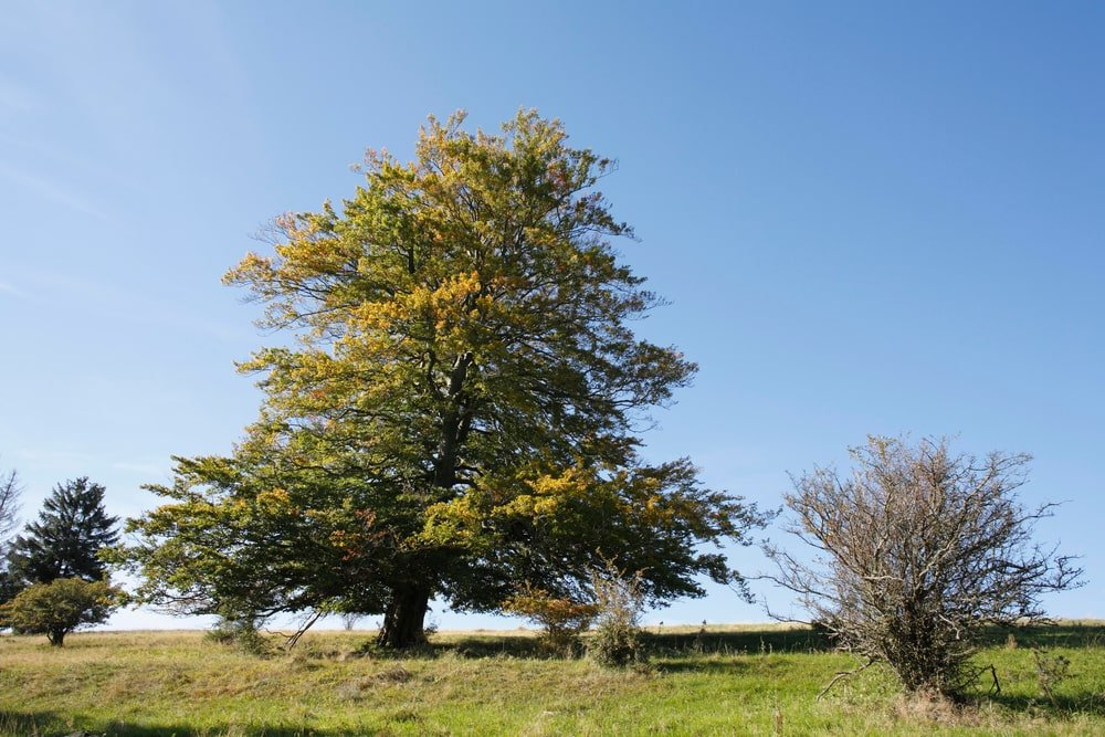 large european beech tree growing in field with smaller trees big blue sky