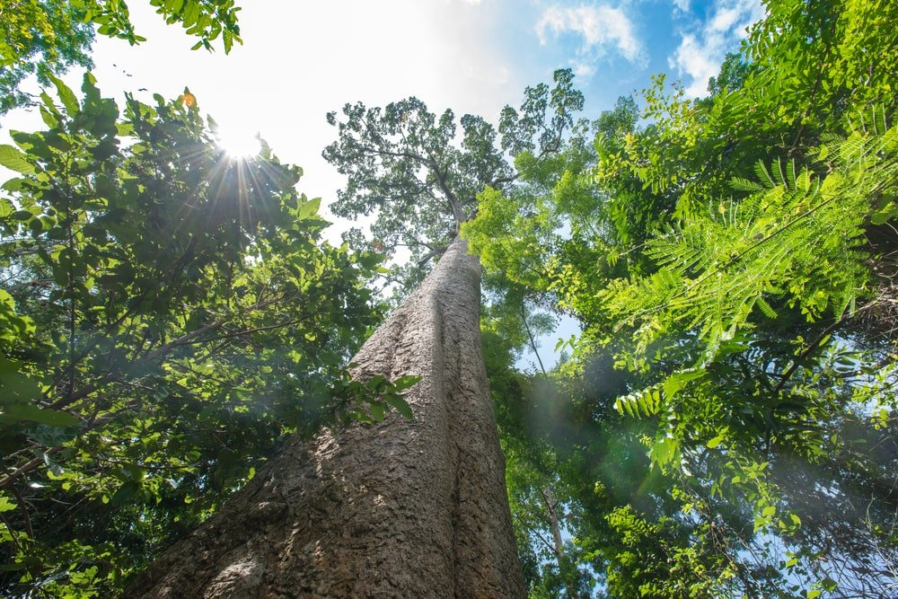 upwards view of giant kauri tree in a tropical rainforest