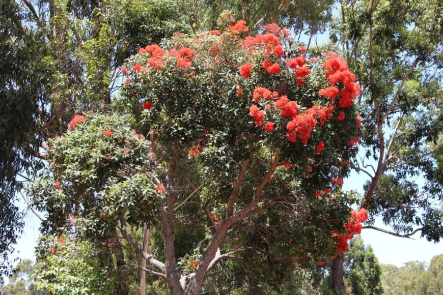 full and robust red flowering gum tree growing in australia
