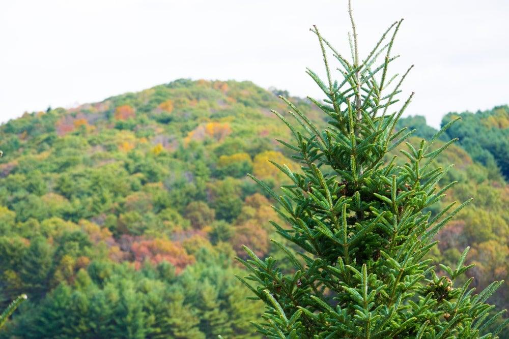 fraser fir tree growing in appalchian mountains in the fall