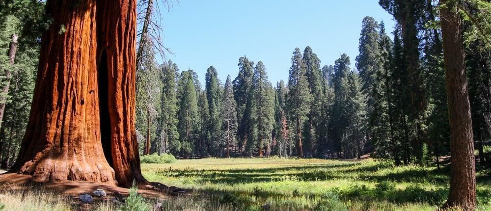 two trunks of giant redwood trees growing in sierra nevada california