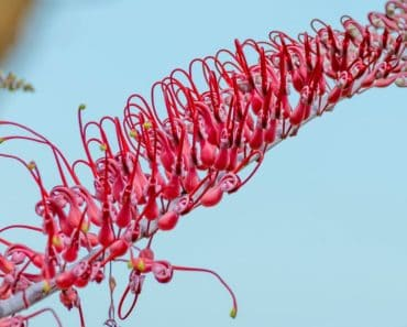 Closeup of a Grevillea flower