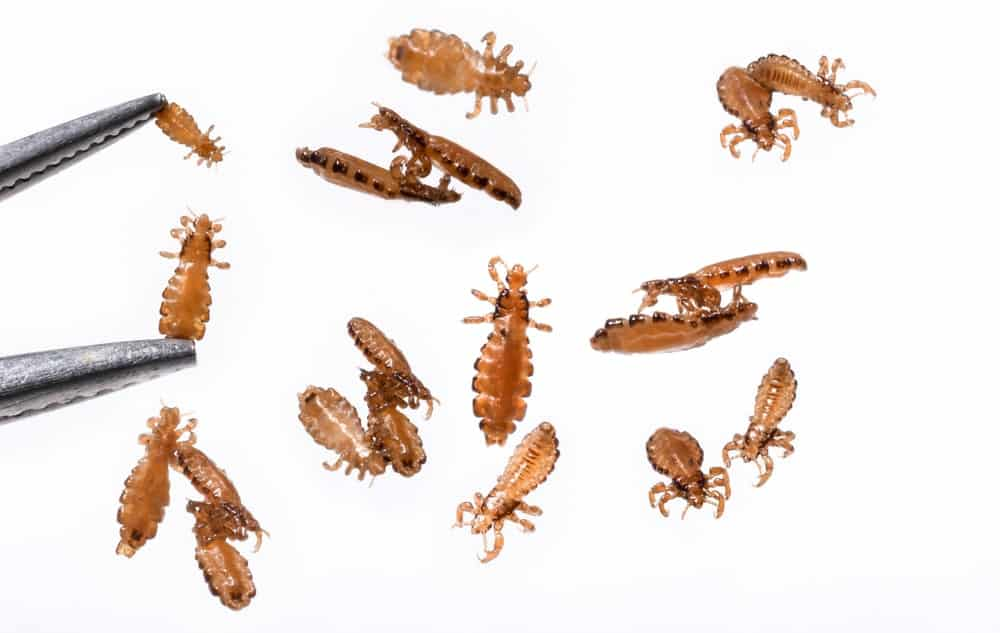Head lice on white background.