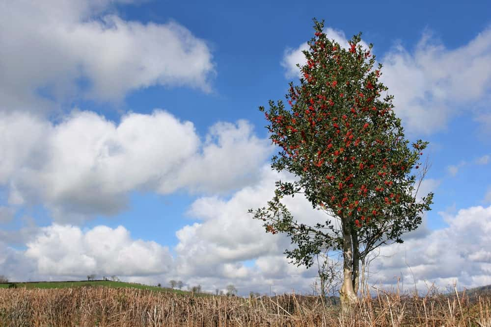 A lone Holly tree in the fields.