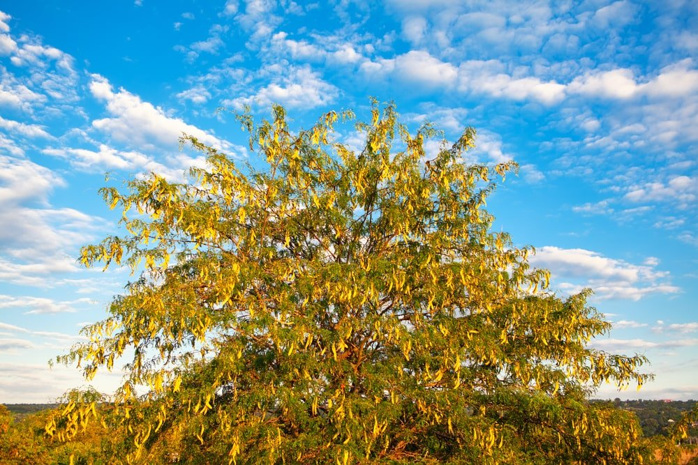 Honey Locust tree during summer.
