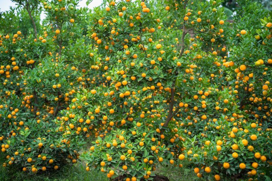 bushy kumquat tree with fresh and ripe kumquats in bloom