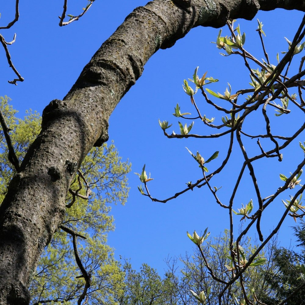 creamy white buds of mountain magnolia tree in spring with bright blue sky