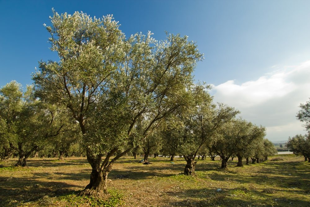 grove of healthy olive trees growing in a plantation