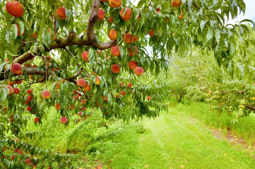 peach tree growing in an orchard bearing ripe peaches