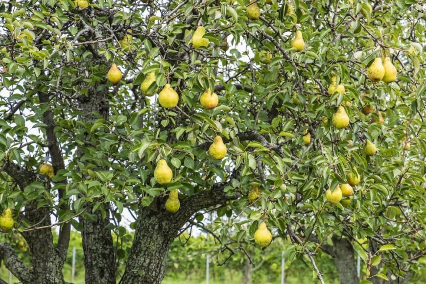 large and healthy pear tree bearing green ripe pears