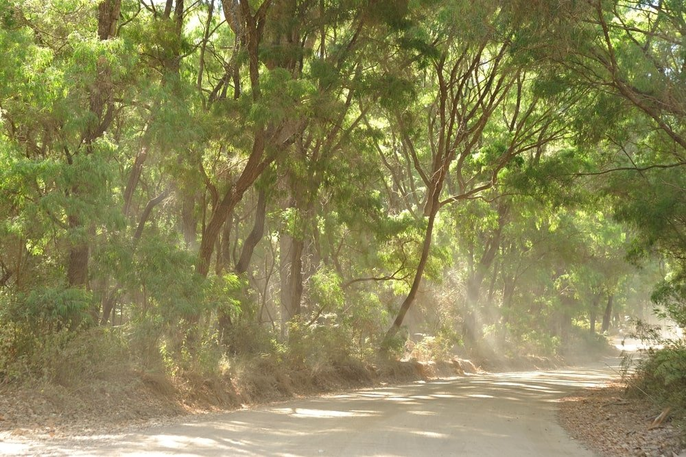 group of peppermint trees growing next to wide pathway with sunlight streaming through the trees