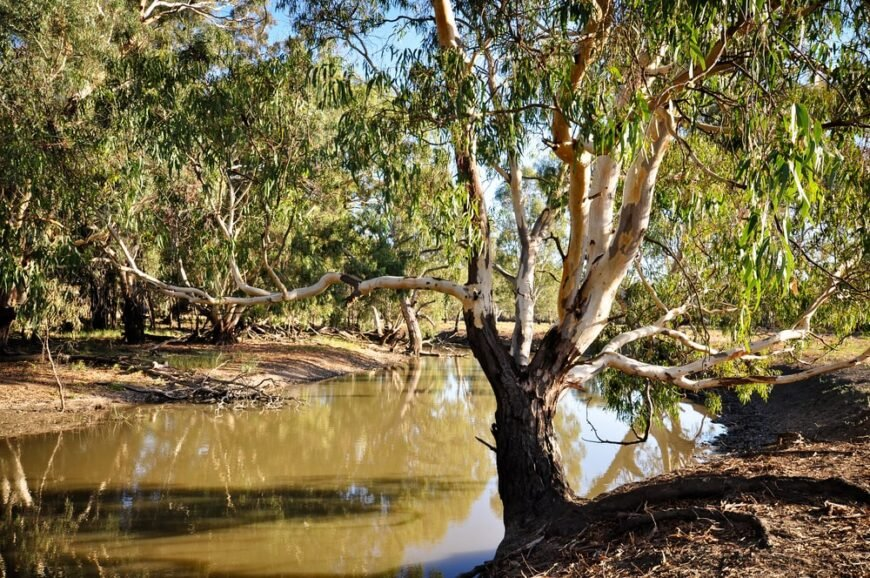red river gum tree with stripping bark growing next to muddy Australian waterway