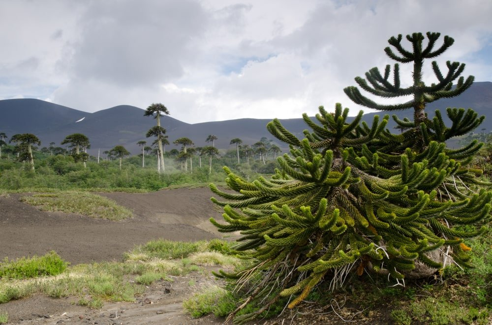 two smaller monkey puzzle trees growing in plains with storm clouds approaching
