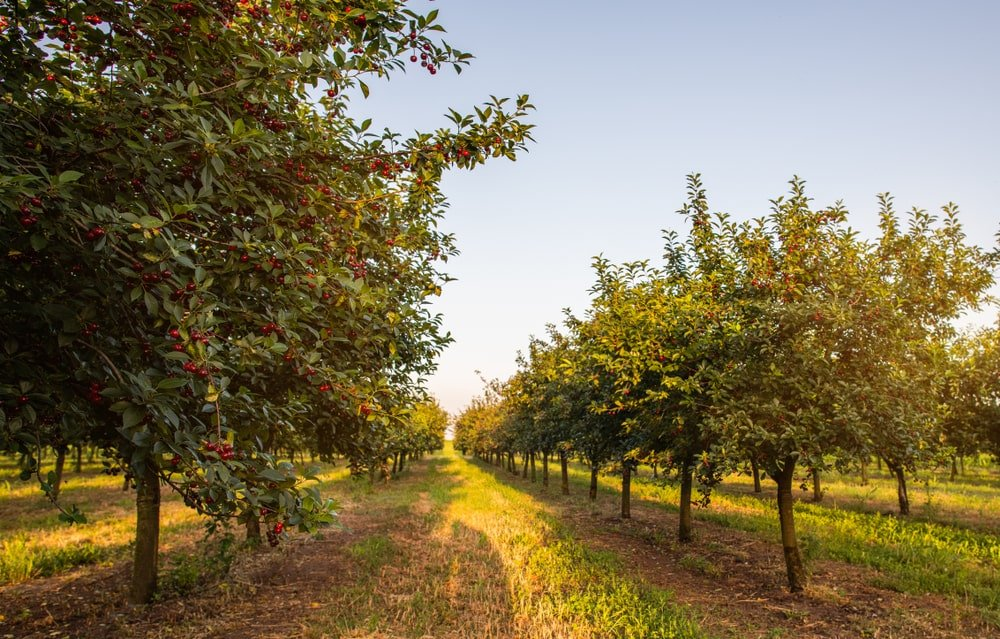 row of sour cherry trees in an orchard at sunset