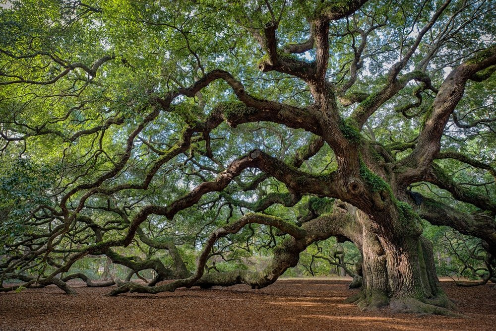 enormous southern live oak tree with sunlight streaming through the leaves