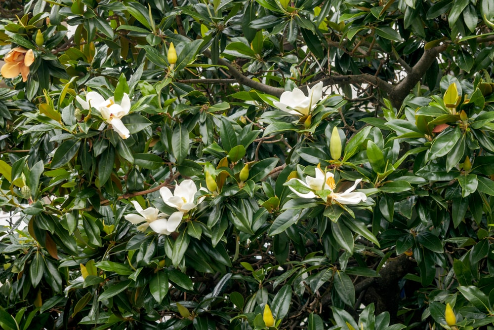 leaves and flowers of beautiful southern magnolia tree
