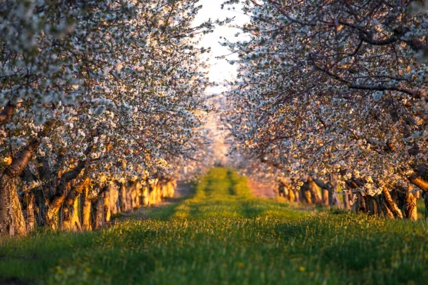 row of sweet cherry trees growing in an orchard at sunset
