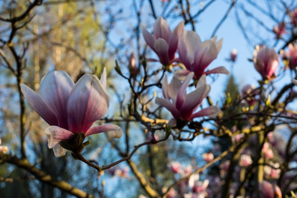 pink and white flowers in spring on a sweetbay magnolia tree