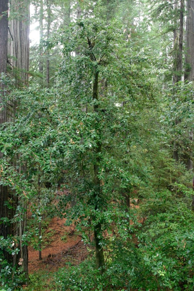 bright green tanoak tree growing in forest