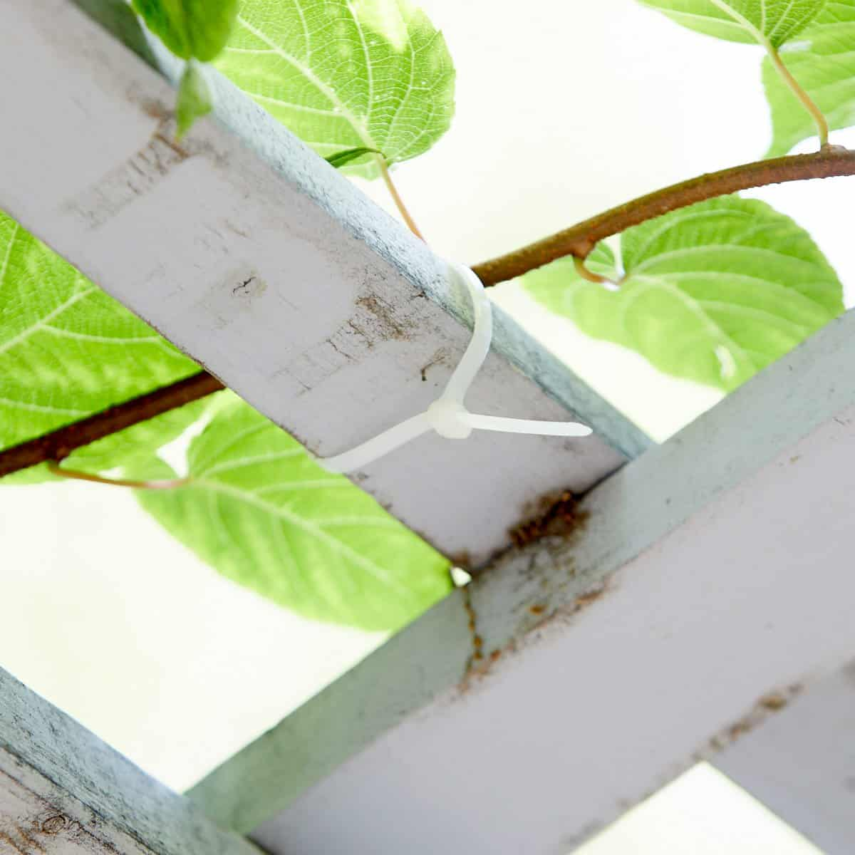 Vines tied to the trellis with a zip tie.