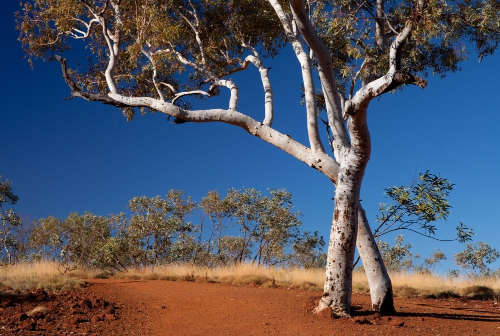 single water gum tree growing in sandy clay on a hot summer day