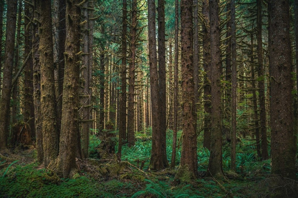 stand of western hemlock trees growing in a shaded rainforest