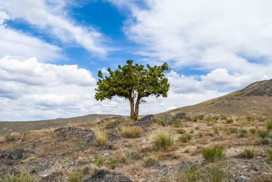 single western juniper tree growing in sagebrush desert