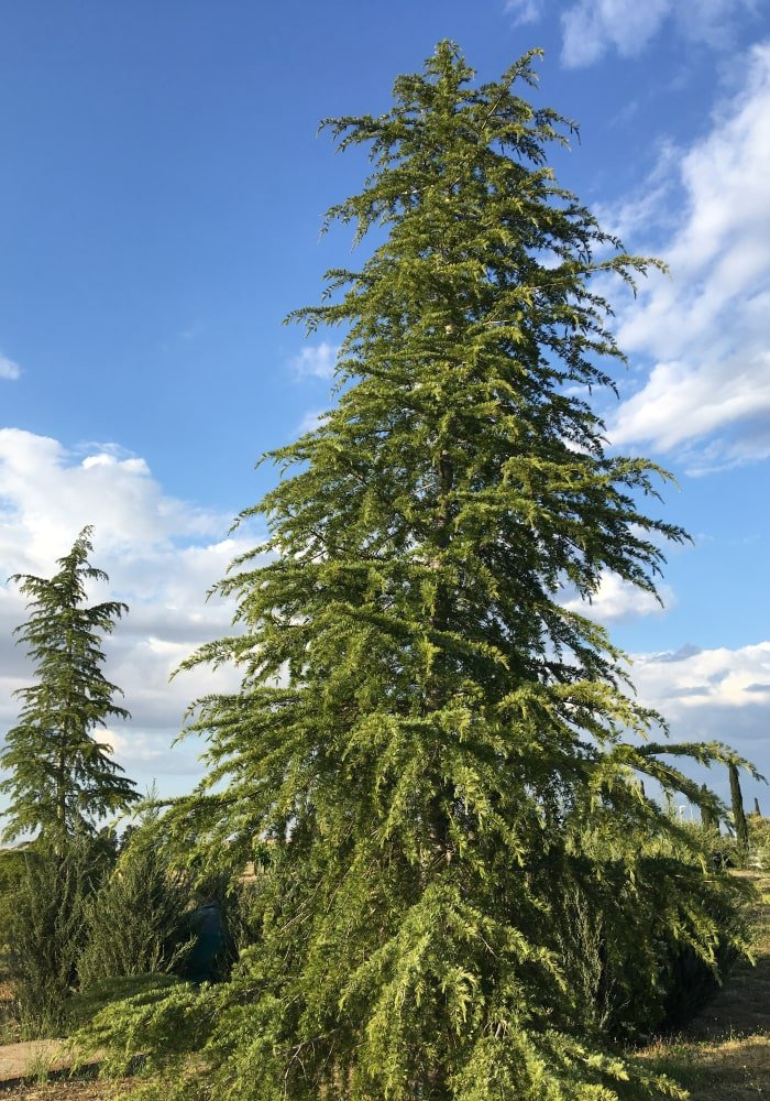 very tall western larch tree growing in the forest on a sunny day